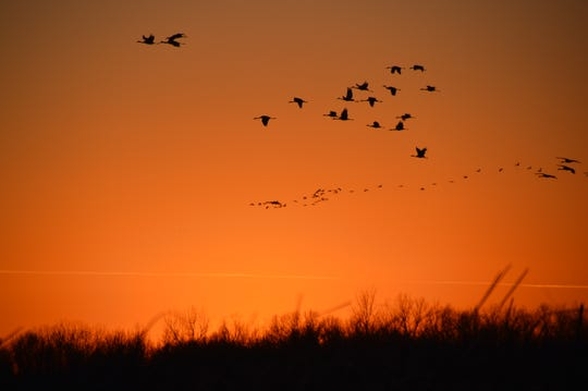 Sandhill Cranes fly over Oconto Marsh on a November evening last year.
