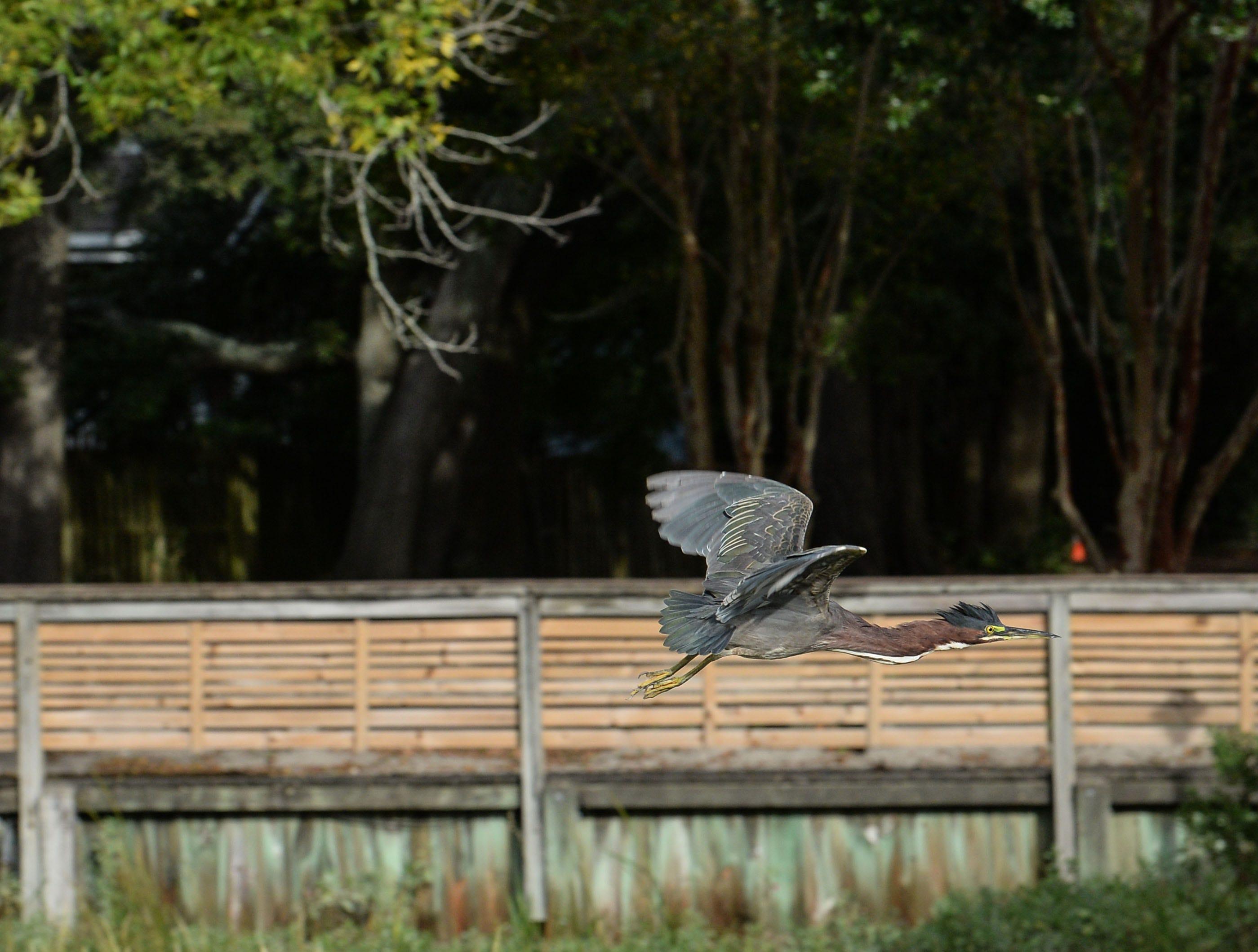 A bird flies away from Crocker's Landing harbor in Wilmington, N.C., before Hurricane Florence hits Wilmington, North Carolina on Thursday, September 13, 2018. (Ken Ruinard / Greenville News / Gannett USA Today Network / 2018 )