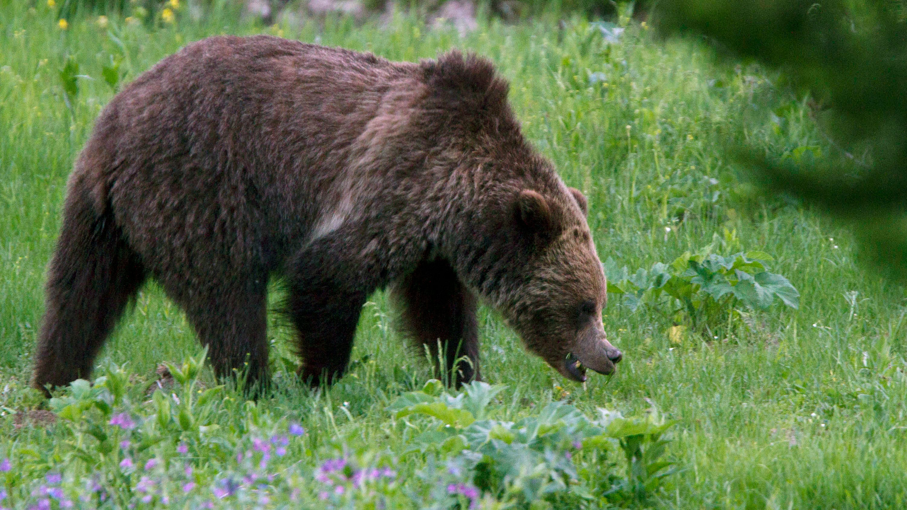 A grizzly bear roams near Beaver Lake in Yellowstone National Park. Opponents of grizzly bear hunts planned in Wyoming and Idaho are asking a judge to further delay hunting while he considers a request to restore federal protections for the animals.