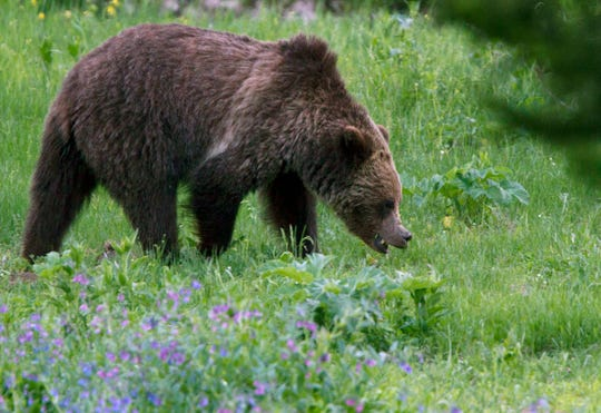 A grizzly bear roams near Beaver Lake in Yellowstone National Park.