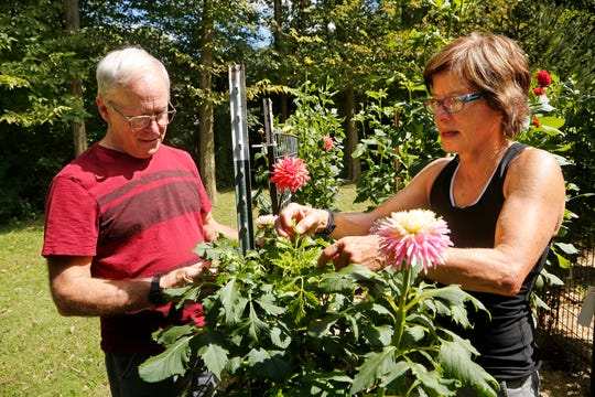 Naomi Prince gets some helpful tips on growing Dahlias with Jim Mailloux Tuesday, September 11, 2018, at her garden in Lafayette. Mailloux is an expert on Dahlias and has been growing the flowers since he was a child.