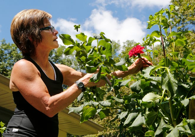 Naomi Prince climbs a ladder to get a better look at a Dahlia blossom Tuesday, September 11, 2018, in her garden in Lafayette.