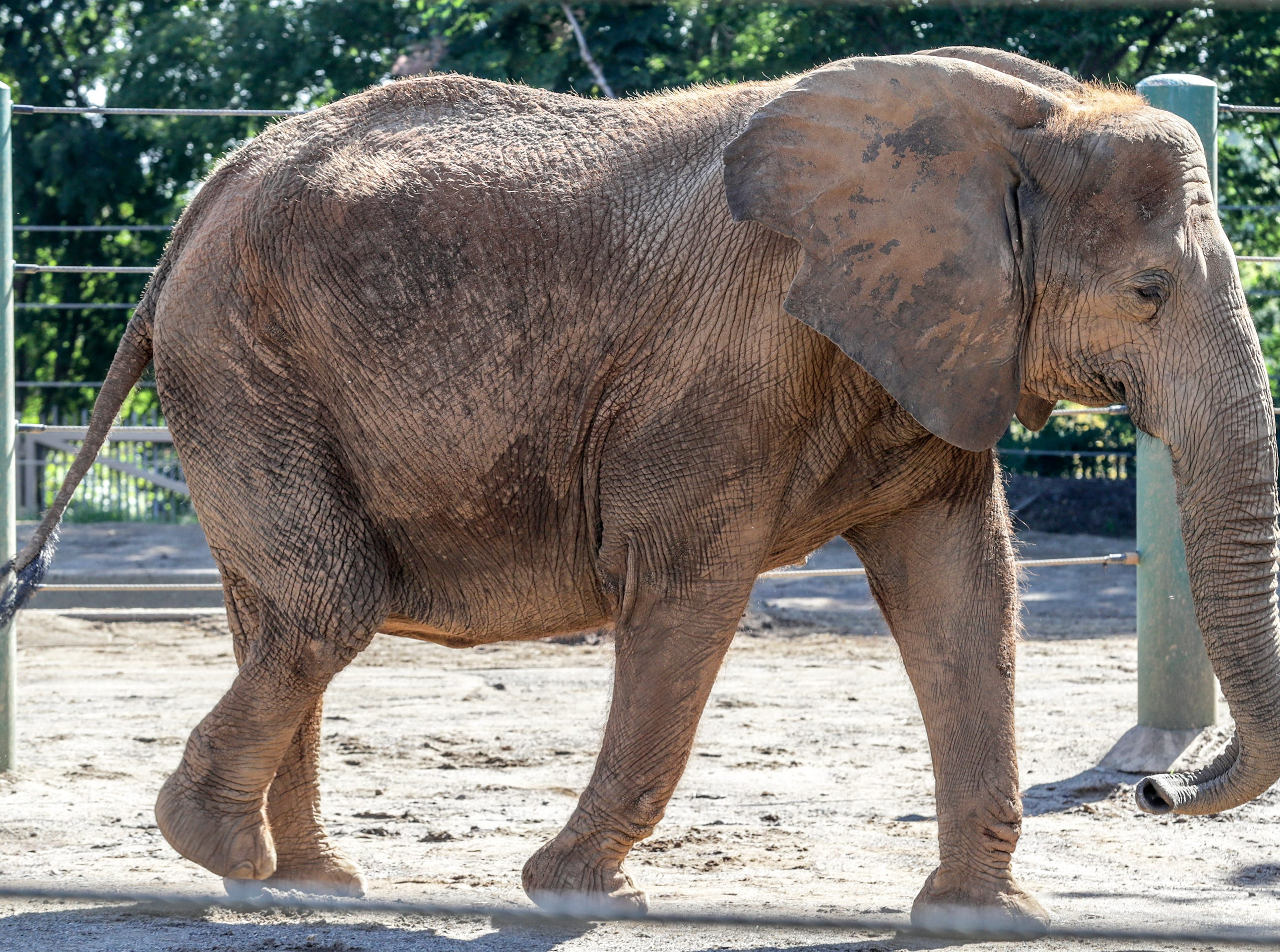 Mikki, an African elephant at the Louisville Zoo, walks around her enclosure before getting an ultrasound.  She is pregnant and is 11 months into a pregnancy that will last between 20 and 22 months.