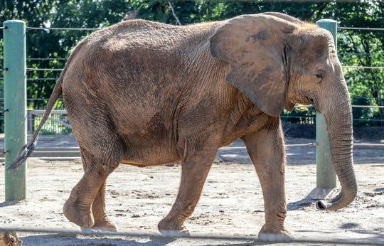 Mikki walks around her enclosure Thursday before the ultrasound.
