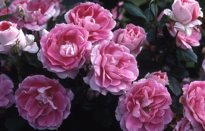 Extend the rose season with roses that will bloom in September and October. The rose blooming season need not stop with summer flowering.