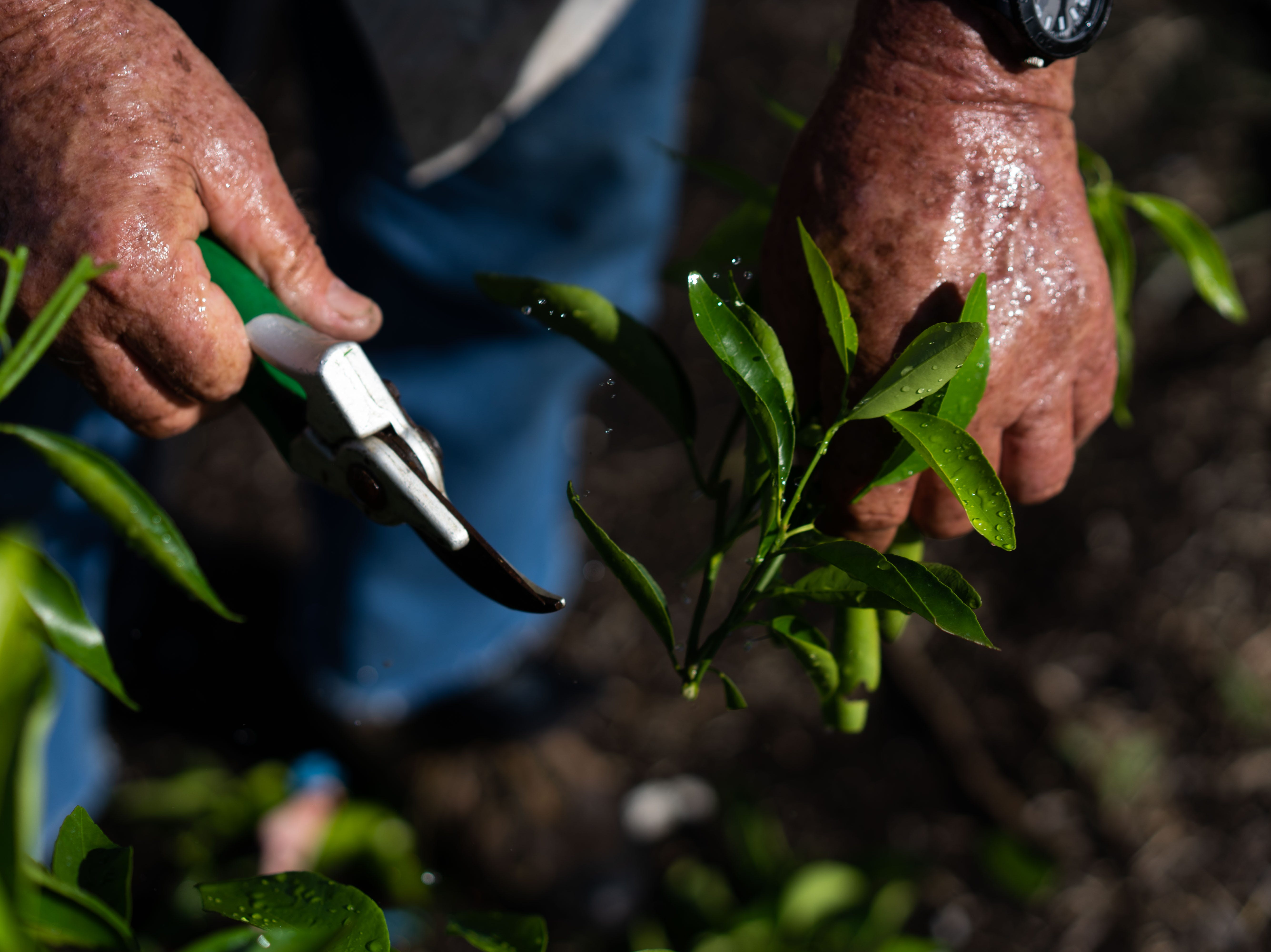 Martin Mason, the owner of Tropical Oaks Farms in LaBelle, snips the unruly branches of his young Sugar Belle tangerine saplings Tuesday morning on Spet.13,2018, to provide them with a round shape. Mason grows three types of tangerines and a type of grapefruit. Although Irma caused damage to his entire harvest, the Sugar Belle tangerines patch fell right in the way of Irma's eye.
