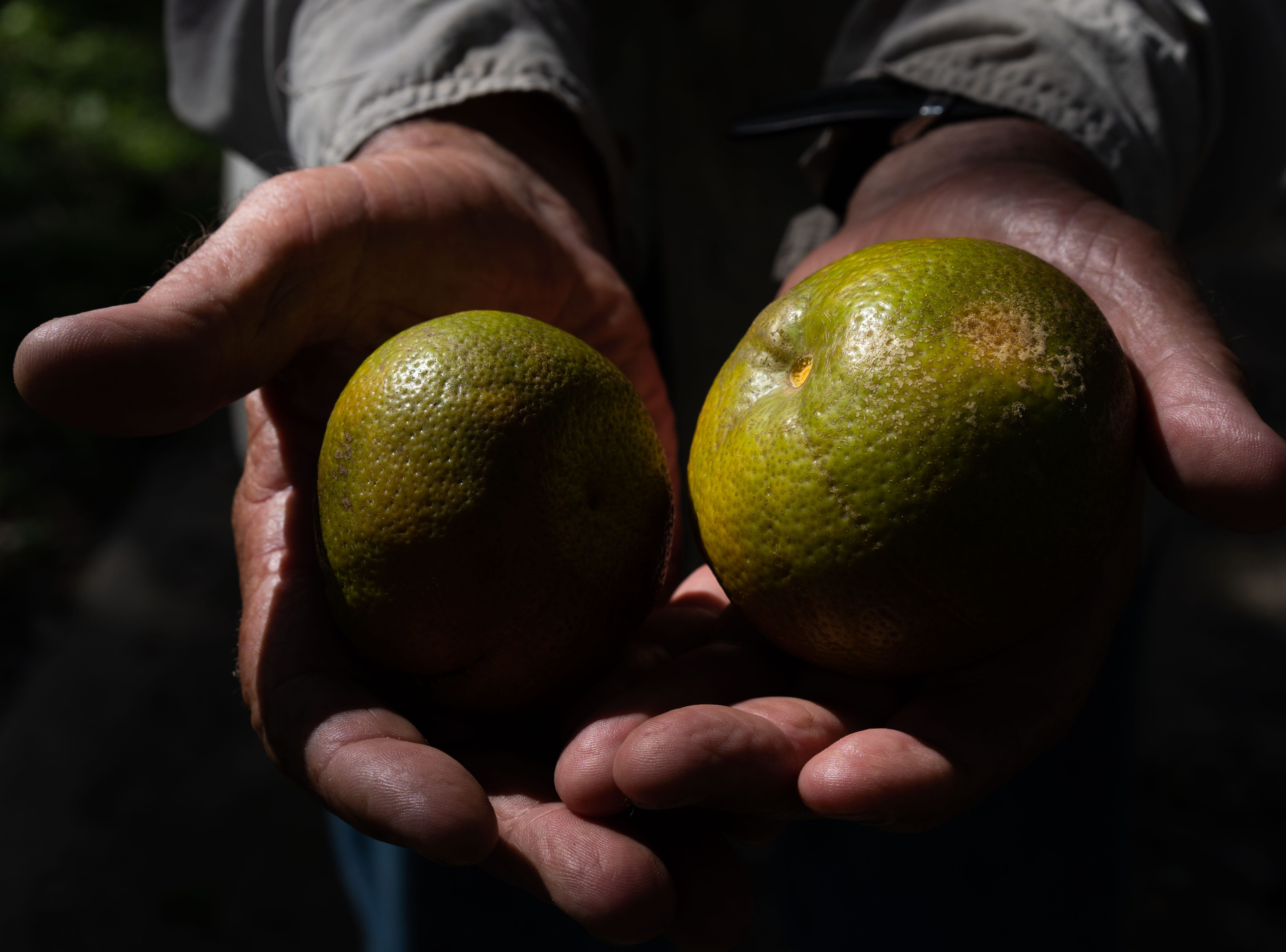 Martin Mason, the 75-year-old owner of Tropical Oaks Farm in LaBelle, Florida, holds out two freshly plucked Sugar Belle tangerines, from his first crop since the destruction caused by Hurricane Irma. The hurricane cost Mason at least a half-million dollars in damages, he says.