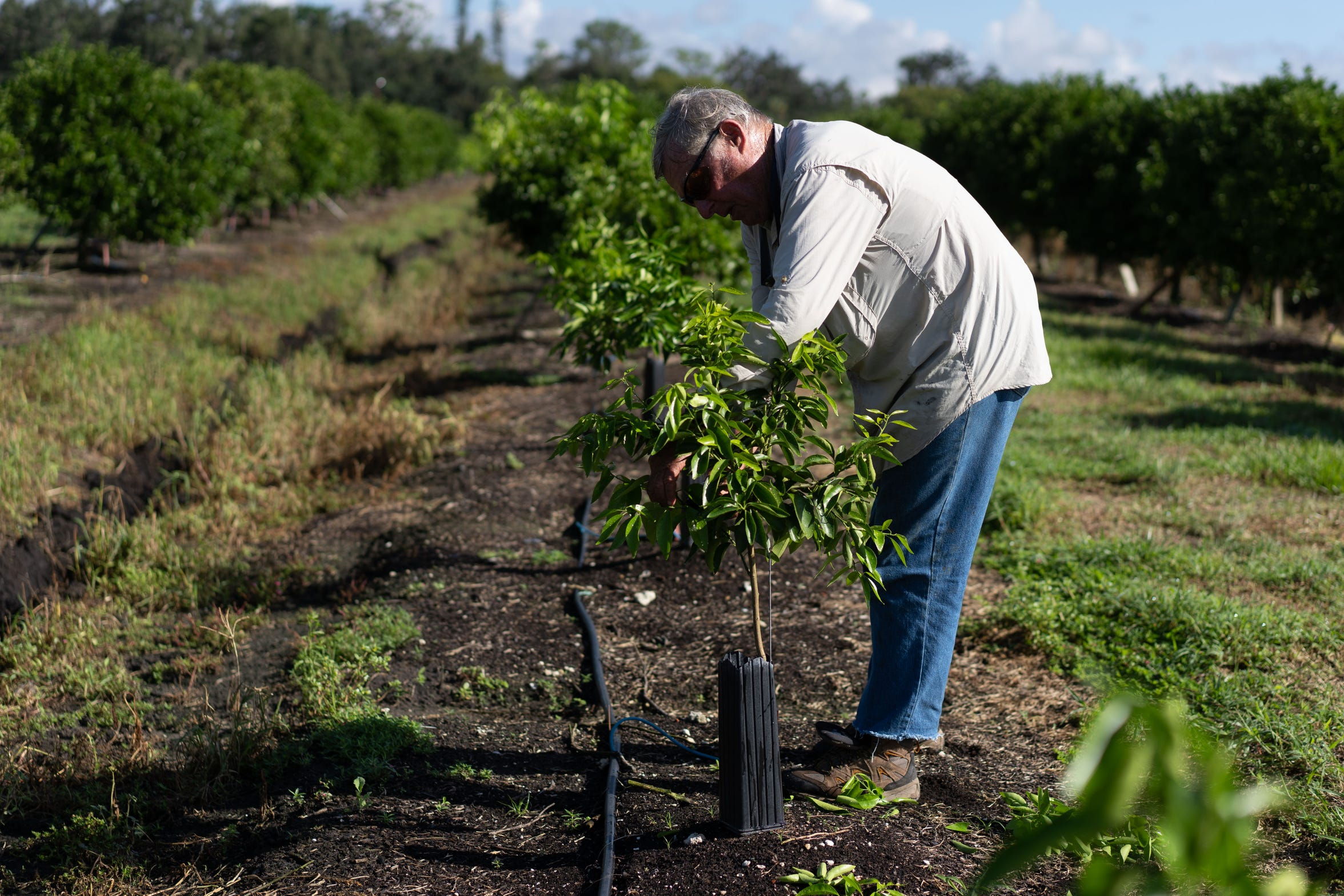 Martin Mason, 75, the owner of Tropical Oaks Farms in LaBelle, tends to his young Sugar Belle tangerine saplings Tuesday, Sept.13, 2018, to groom them into a round shape as they grow and bear fruits. When Hurricane Irma made landfall in Florida on Sept. 10, 2017, the eye swept through Mason's property, damaging his trees and harvest. A year latern, he is still trying to recover from the losses.