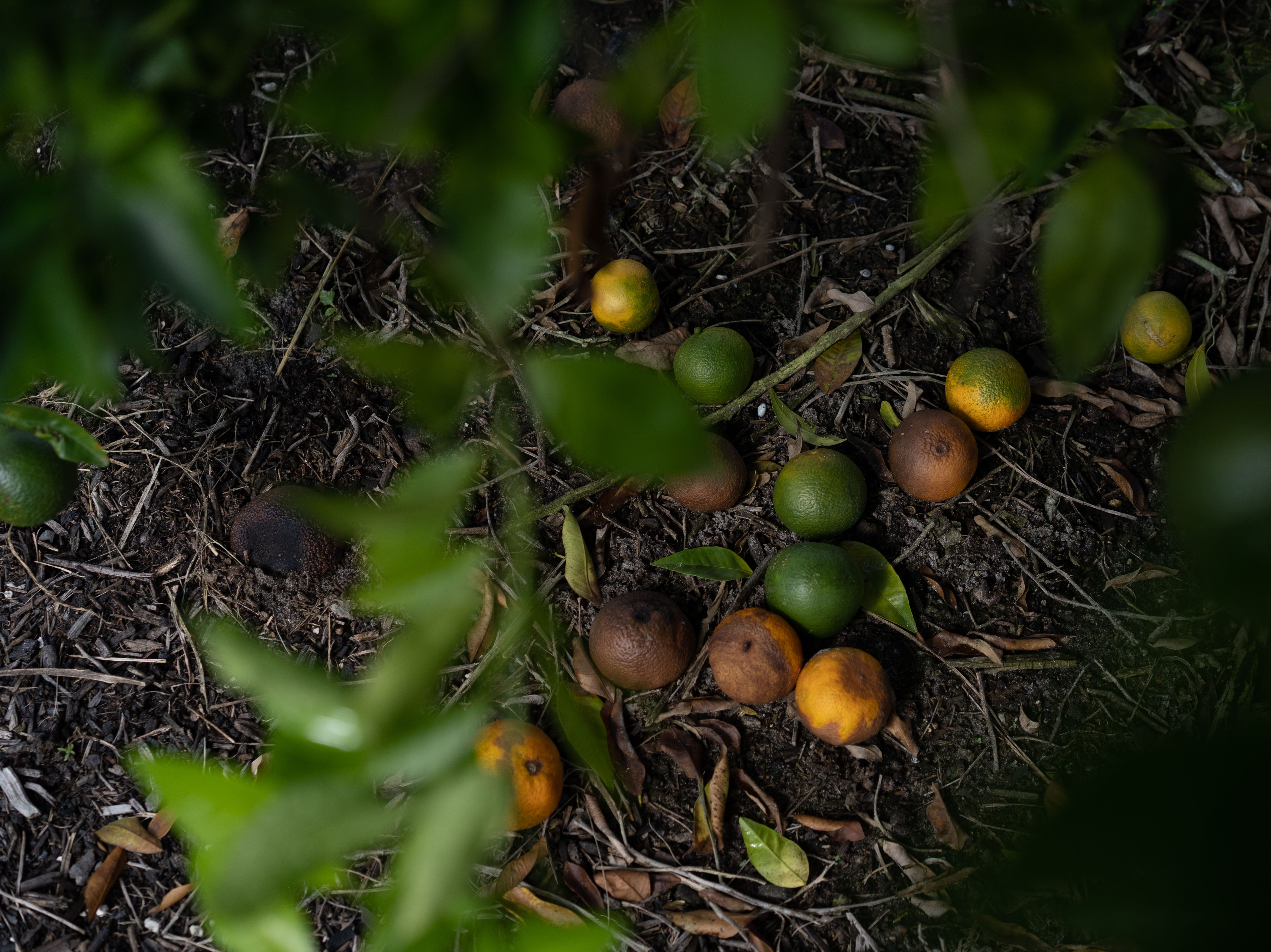 """Green and ripe tangerines lay in the dirt of Martin Mason's farm in Labelle. The farm was struck by hurricane Irma's fury last year. With dedicated work, Mason has been able mostly been able to get his farm running up and about again, but, remains of damage still prevails. """"My fruits are money,"""" Mason said. """"And I am desperate for money."""""""