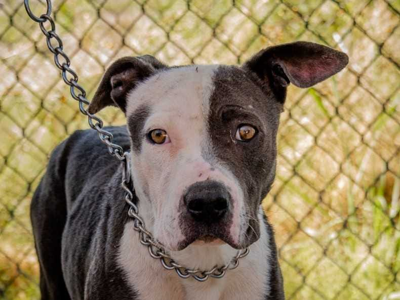 Aria - Female (spayed) pitbull mix, 3 years old. Intake date:4/5/2018