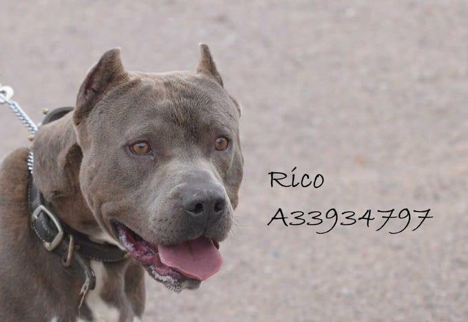 Rico - Male (neutered) pitbull mix, 4 years old. Intake date:9/1/2018