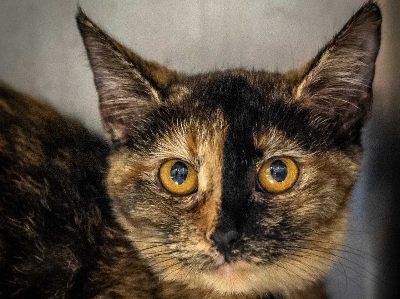 Eden - Female domestic short hair, 6 months old. Intake date:7/8/2018