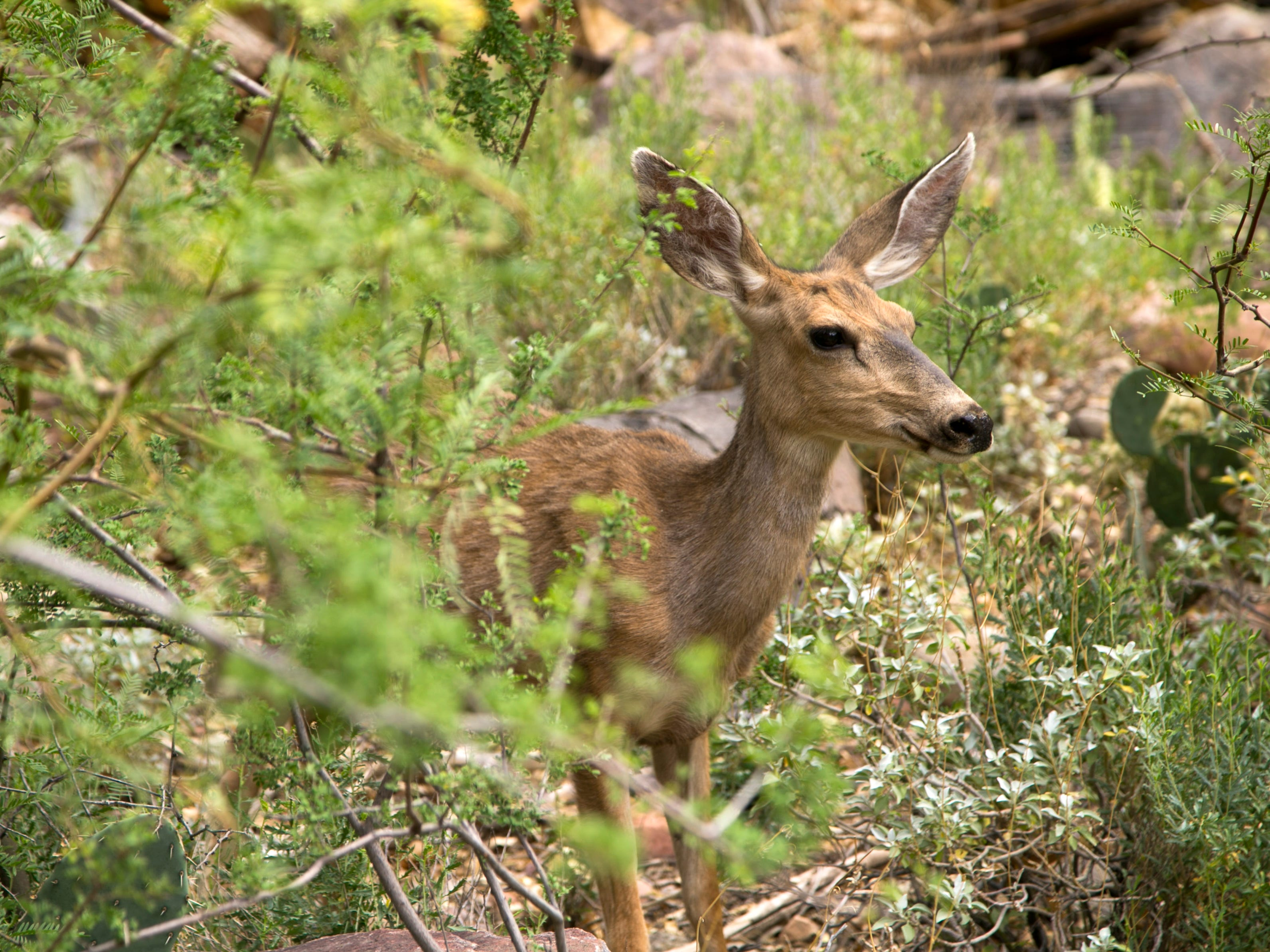 A mule deer is seen near Phantom Ranch in Grand Canyon National Park.