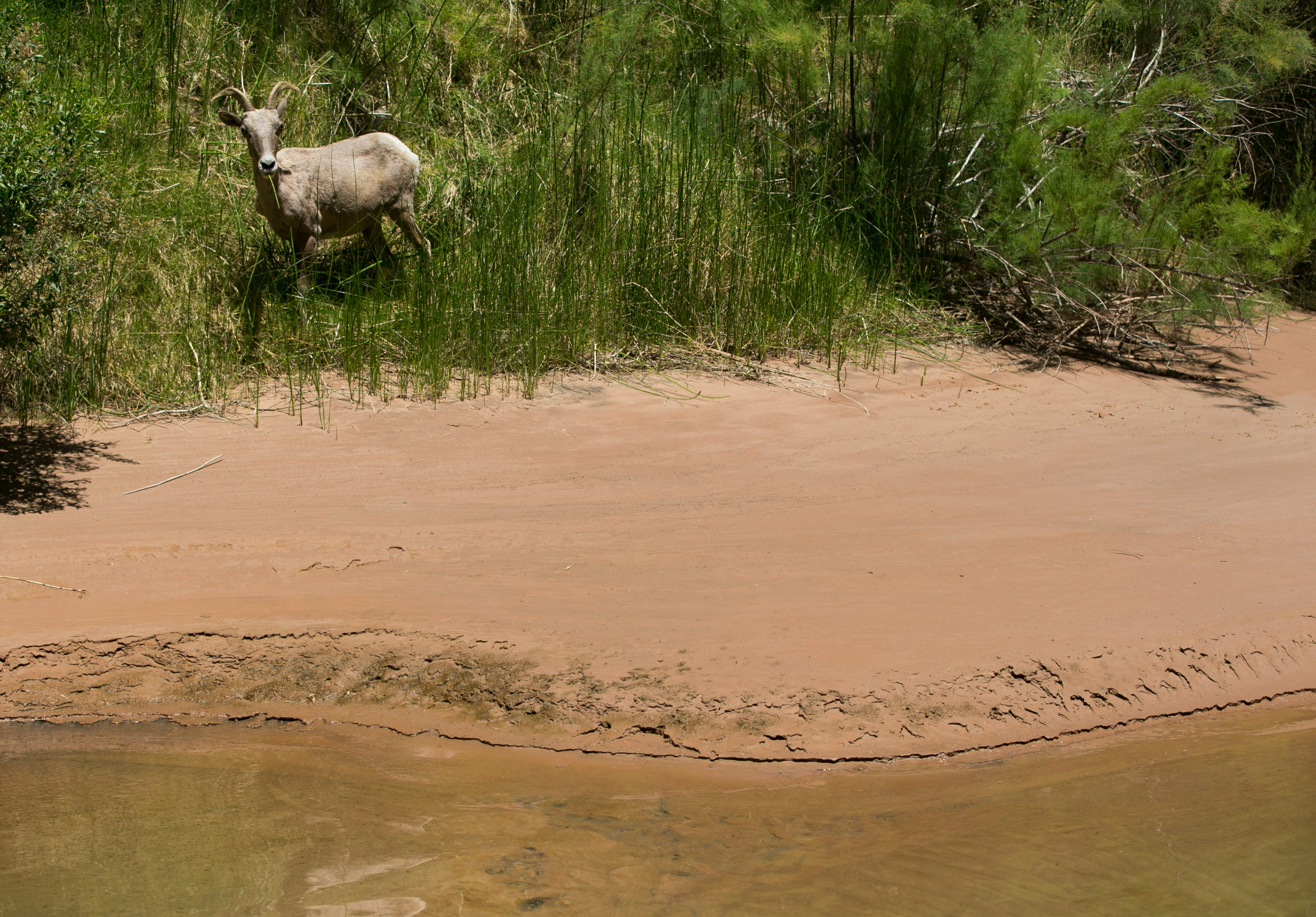 A desert bighorn sheep grazes along the banks of the Colorado River near river mile 185 in Grand Canyon National Park. Some of the sandbars and beaches that are built up after water releases erode back into the river over the following year.