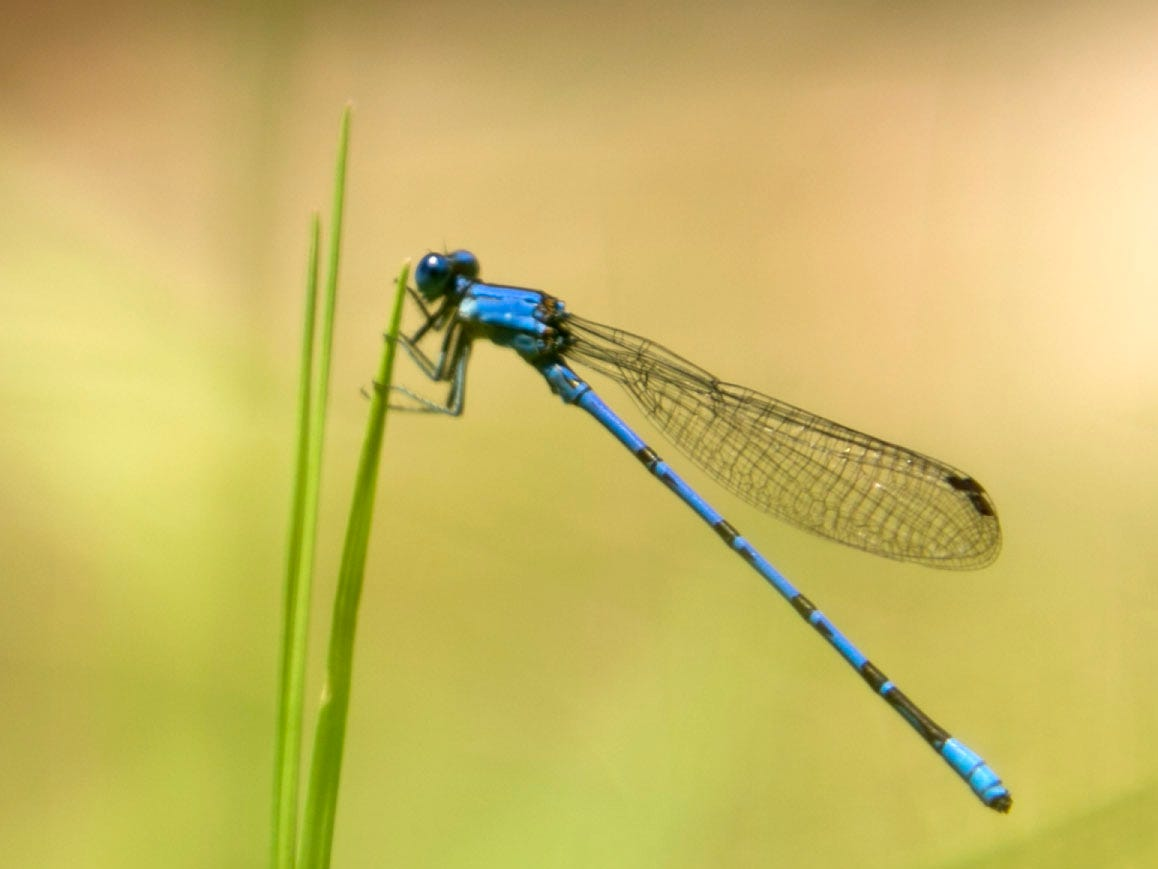 A dragonfly perches on a blade of grass along Havasu Creek not far from the confluence with the Colorado River in Grand Canyon National Park.