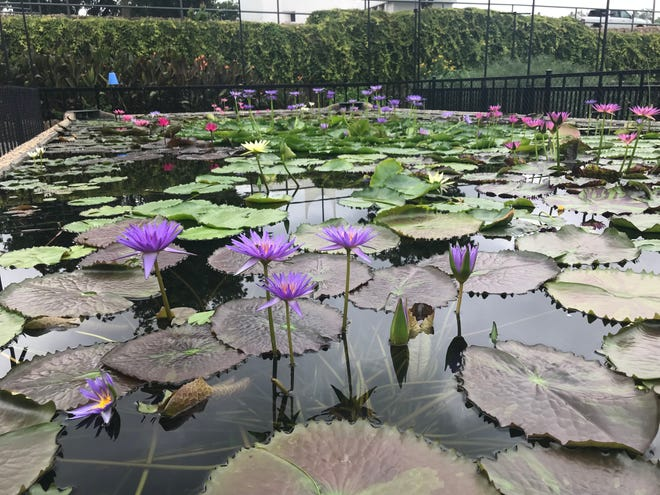 Blooms in the International Waterlily Collection attract bees as caretakers prepare for Lilyfest on Saturday, Sept. 15.