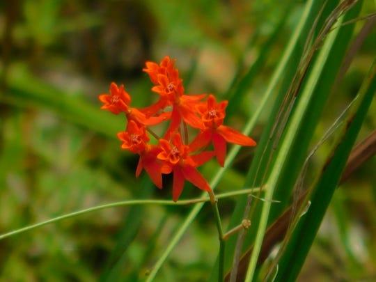 Fewflower milkweeds (Aslcepias lanceolata) were dug up and replanted at the St. Marks National Wildlife Refuge.