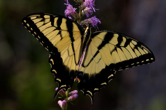 Eastern Tiger Swallowtails are common in the Apalachicola National Forest during the fall and can often be seen nectaring on blazing star.