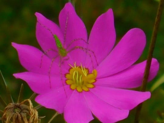 Native flowers like this gentian (Sabatia spp.) are in peril of losing their habitat.