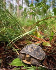 The Gopher tortoise is a currently threatened keystone species that relies on healthy pine forests for habitat. Photo by Lilly Anderson-Messec