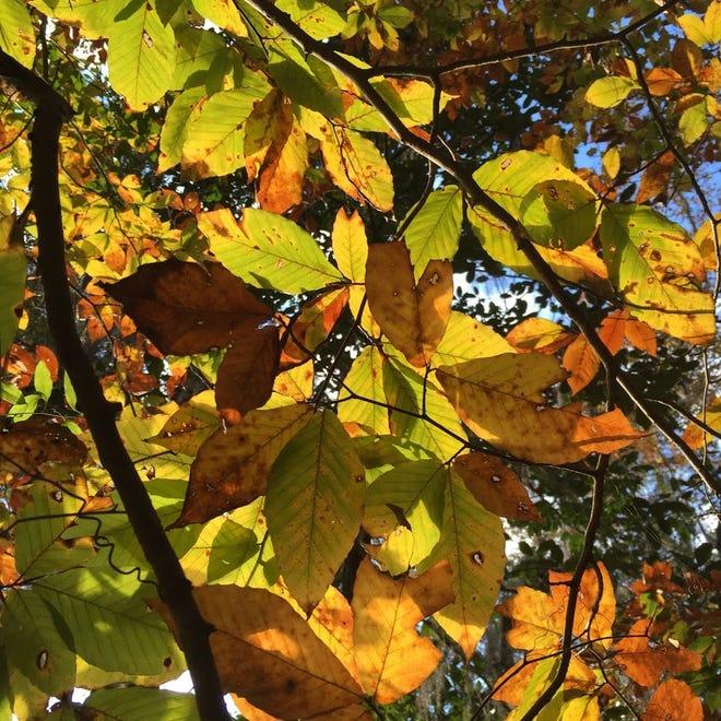 American Beech beginning to show it's fall foliage.