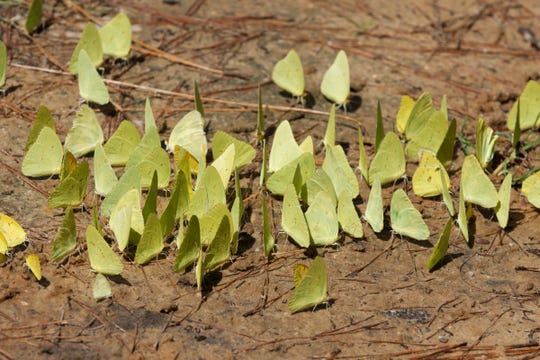 Large numbers of butterflies, such as these Cloudless Sulphurs, are sometimes seen obtaining nutrients near mud puddles.