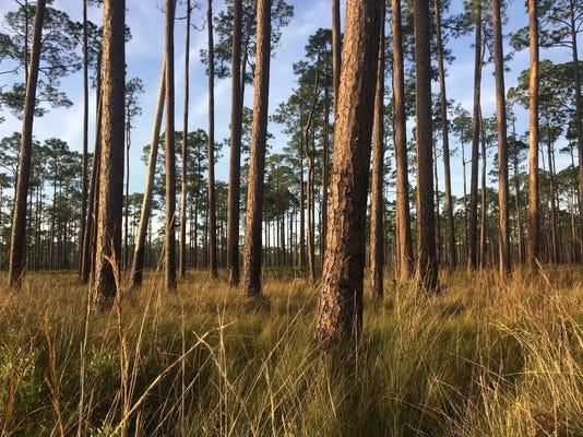 Pines Img 1369