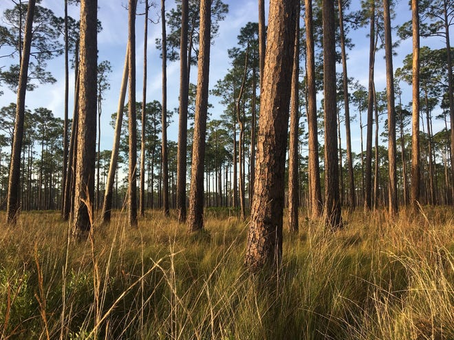 The pine forests that historically covered the Southeast were open, sunny habitats filled with native grasses, wildflowers and wildlife.