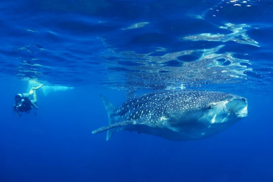 Swimming with whale sharks, the world's largest fish, is an unforgettable experience in the waters off the coast of the Philippines.