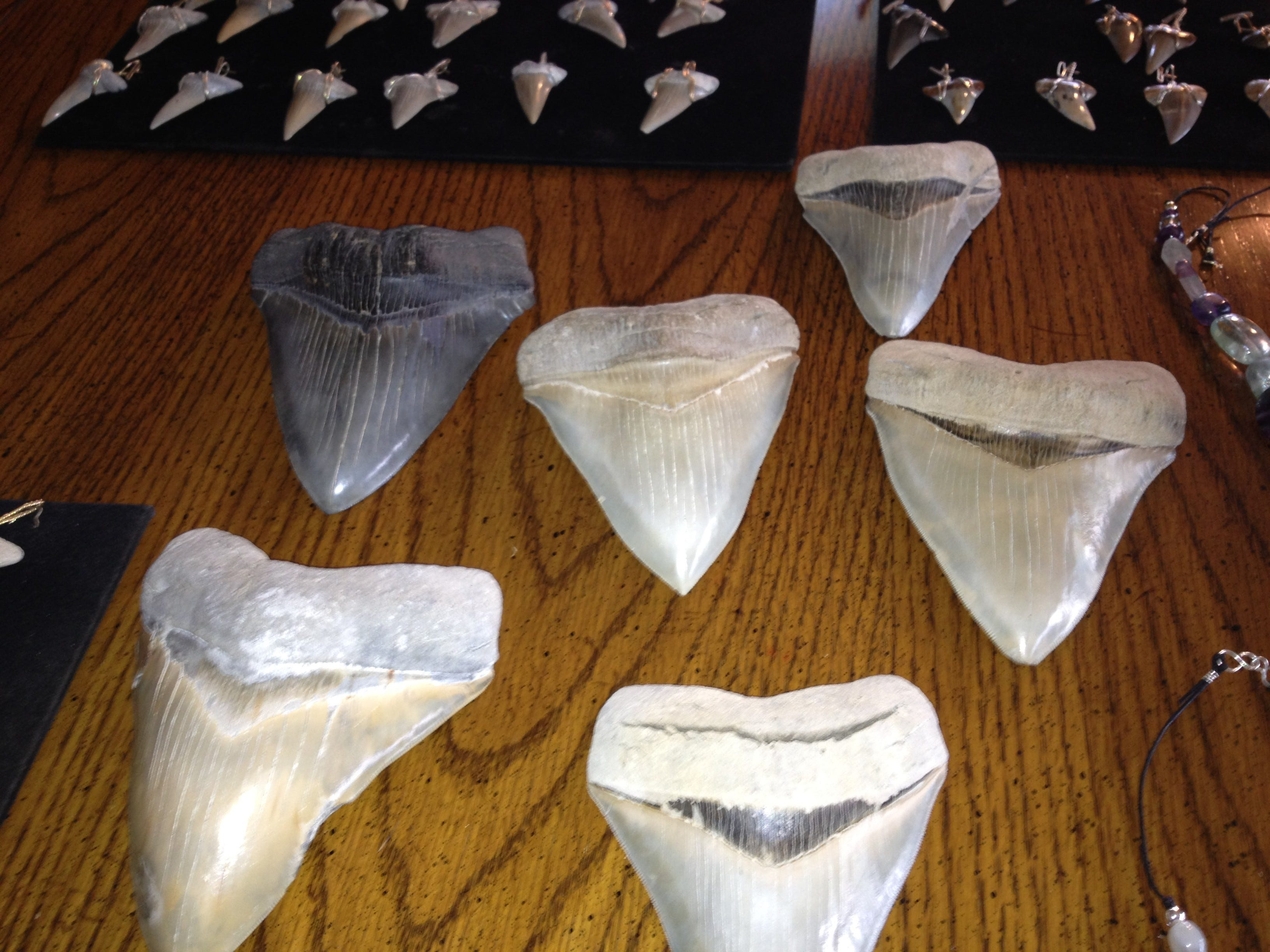 Carbon dating megalodon tooth found
