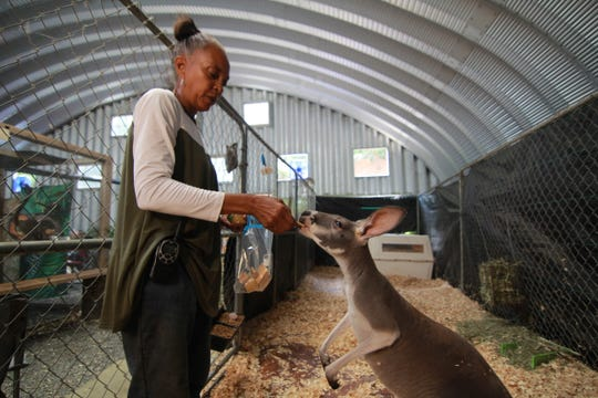 Nicole Tai feeds one of two female kangaroos inside a cage within a metal building on 2202 Walnut Creek Road.