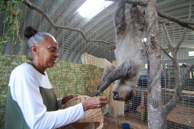 Nicole Tai feeds Xena, a two-toed sloth, inside Safari Edventures on Walnut Creek Road.