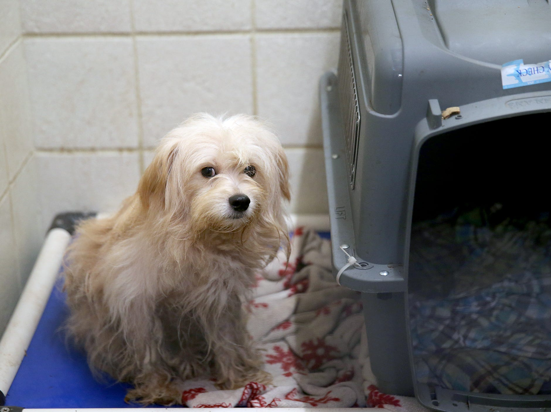 Haven of of the twenty six dogs are at the Kitsap Humane Society after being rescued from a home in Chico.