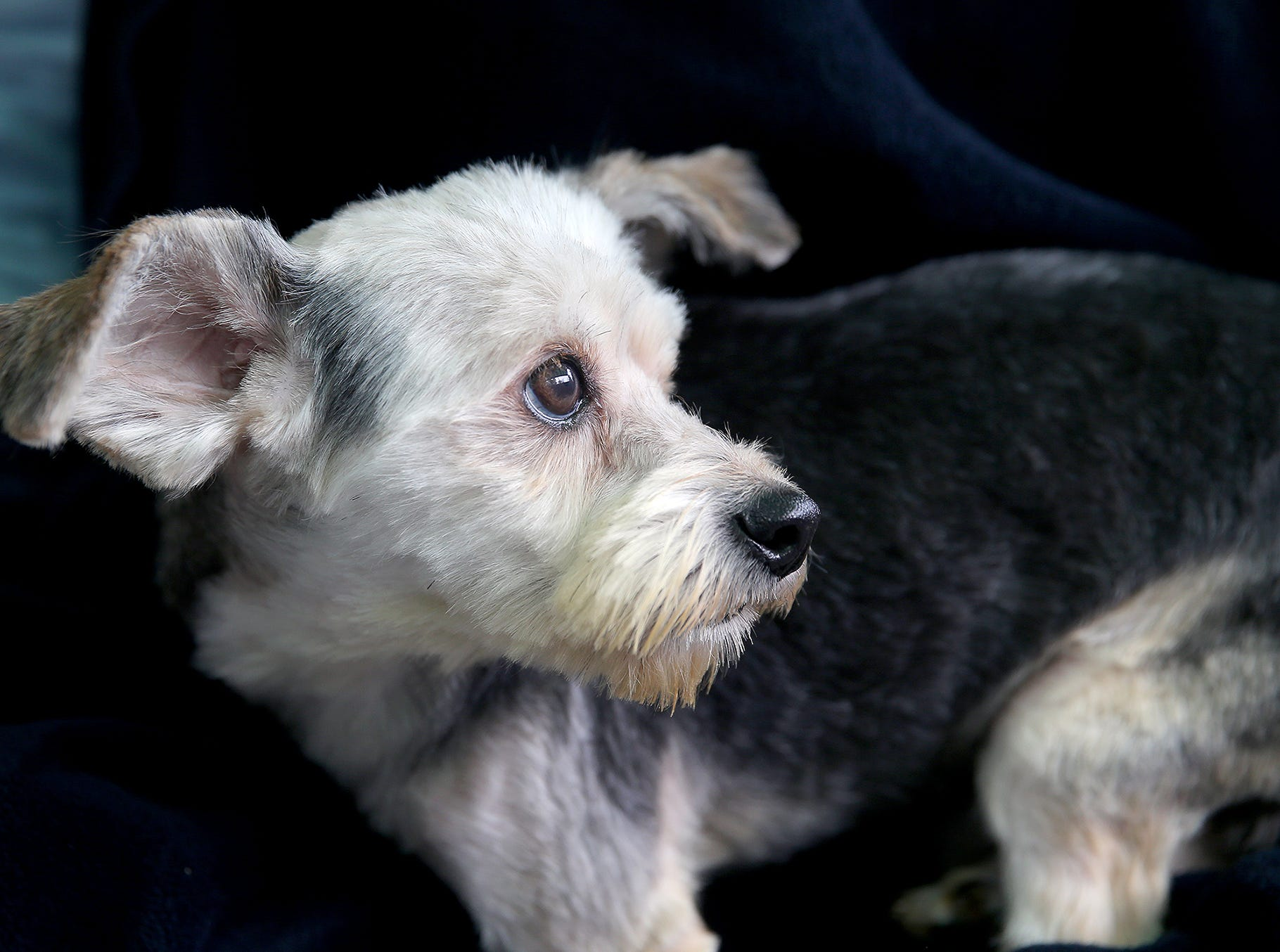 Chestnut one of the twenty six dogs are at the Kitsap Humane Society after being rescued from a home in Chico.