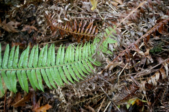 Sword ferns are valued for adding biodiversity to Pacific Northwest forests as well as providing cover for woodland creatures.