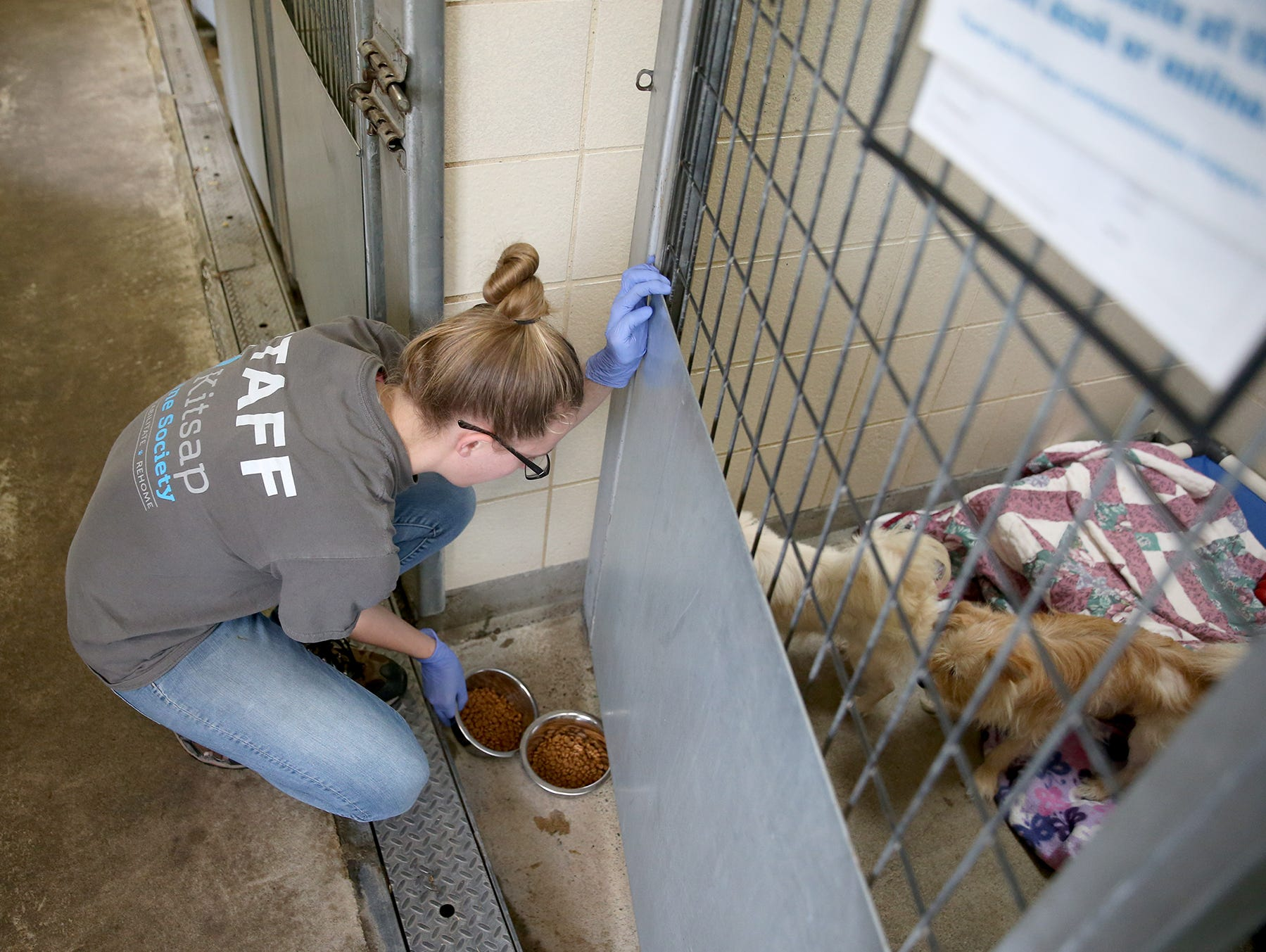 Audrey Anderson an animal care technician at the Kitsap Humane Society feeds some of the twenty six dogs are at the Kitsap Humane Society after being rescued from a home in Chico.