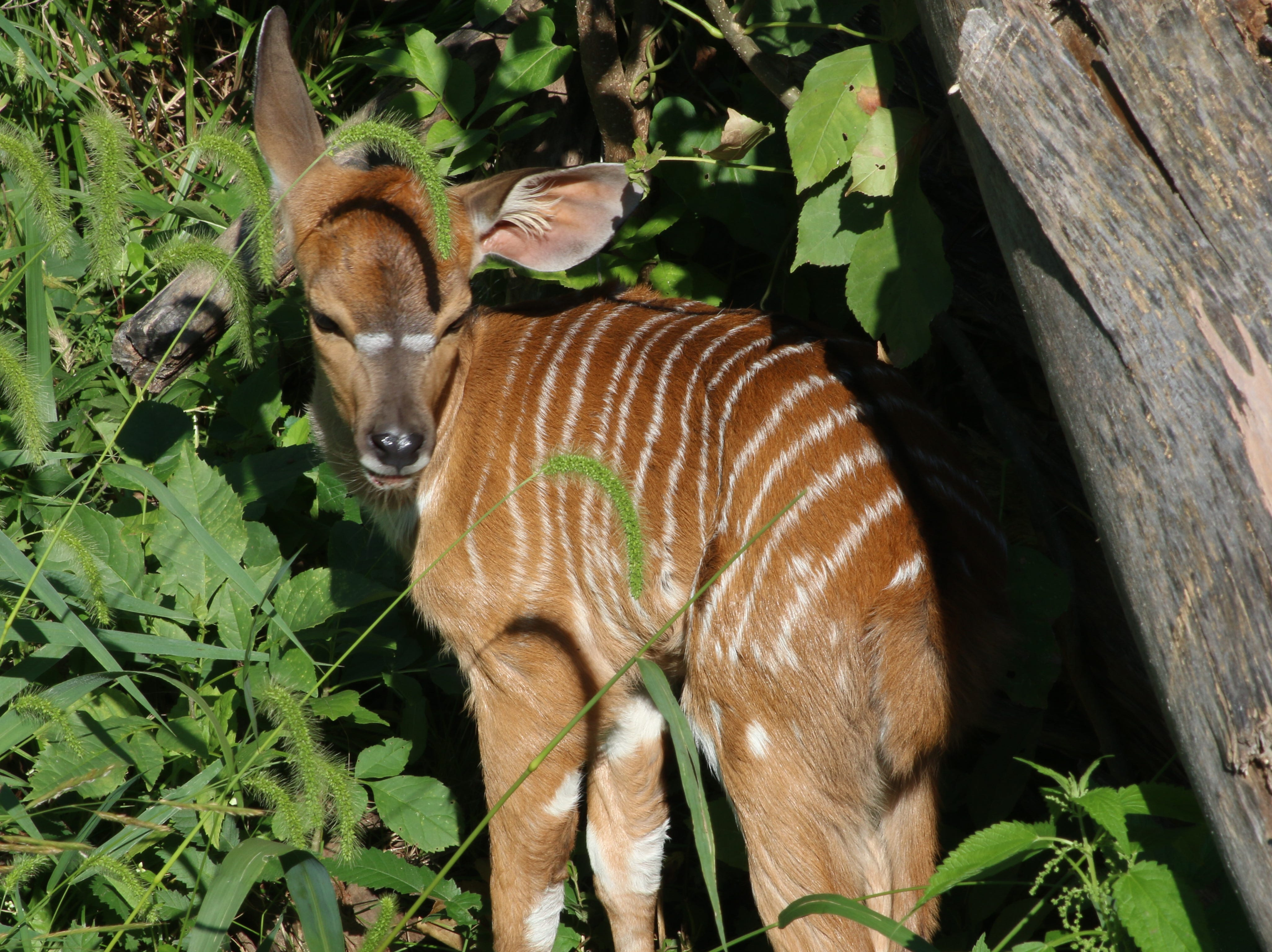 Blank Park Zoo announced Friday that a nyala calf and six flamingo chicks have been born in the last month. The female nyala calf is named Hazel. The flamingos are not yet named.