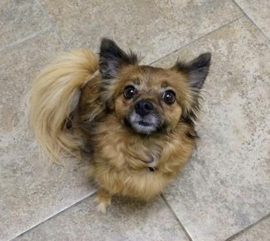 Abby, a chihuahua and Pomeranian mix, is up for adoption at the Furry Friends Refuge.