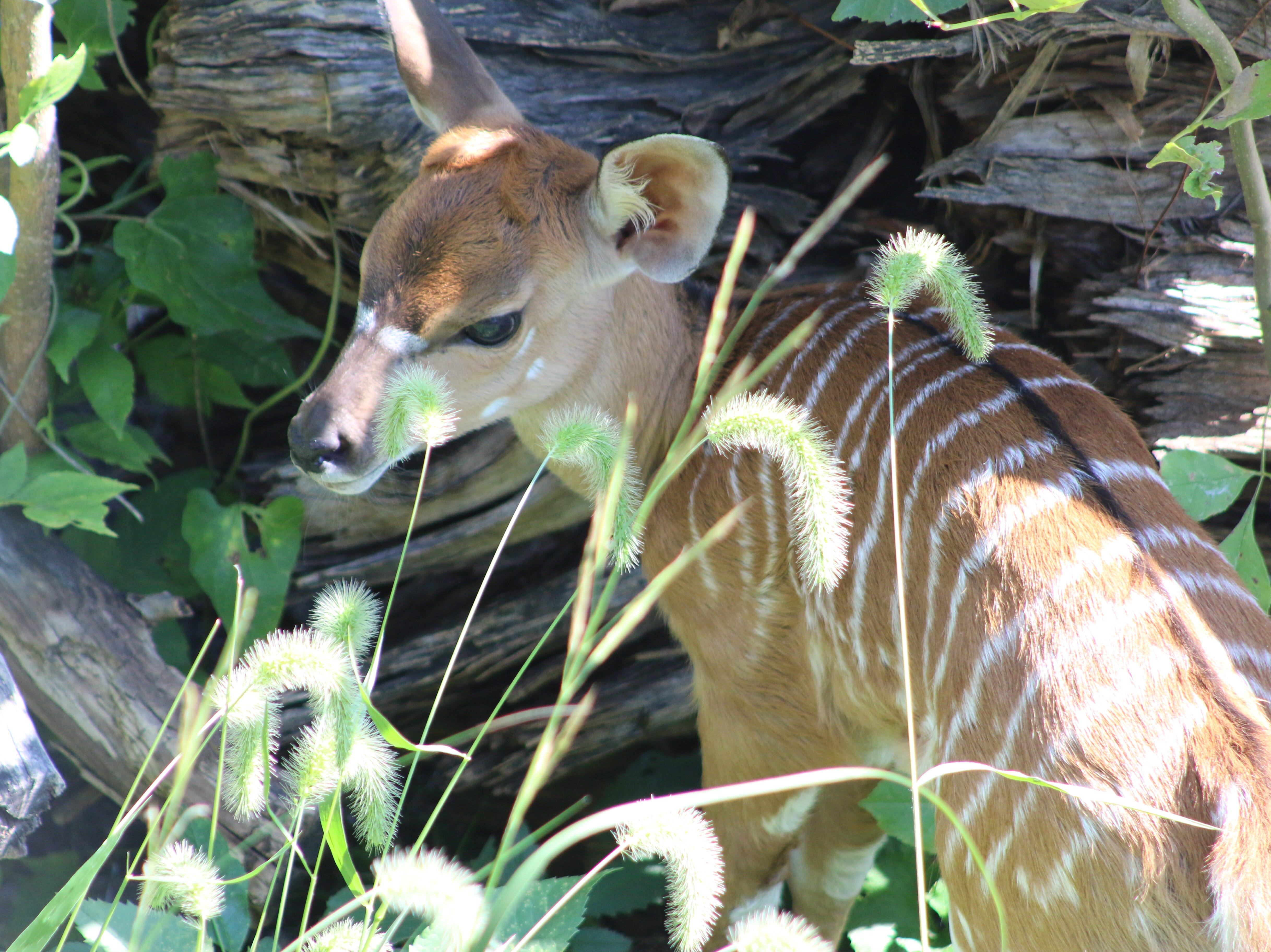 Blank Park Zoo announced Friday that a nyala calf and six flamingo chicks have been born in the last month.