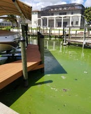 Blue-green algae builds up on the surface at the canal behind Denise Clements' home in Cape Coral earlier this week. The algae has plagued the city for more than two months.
