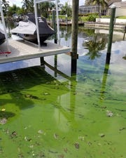 Dense areas of blue-green algae float at the surface in the canal behind Denise Clements' home in Cape Coral.
