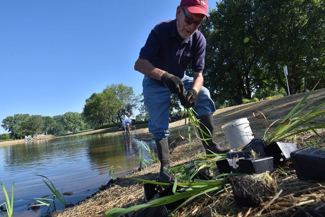 Rod Schlise of Sturgeon Bay was among a couple dozen volunteers planting native water/bog plants around the perimeter of Middle Cell surrounding Little Lake inside Sunset Park in Sturgeon Bay on Saturday, July 16, 2016. The restoration of the lake is a cooperative project of the Rotary Club of Sturgeon