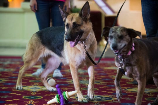 Hurricane Florence evacuee Joseph Guidry's dog from left Harley and Lucky, play with a PetSafe toy at Hotel Knoxville Friday, Sept. 14, 2018. PetSafe offered pet products and professional guidance on pet handling to Hurricane Florence evacuees.