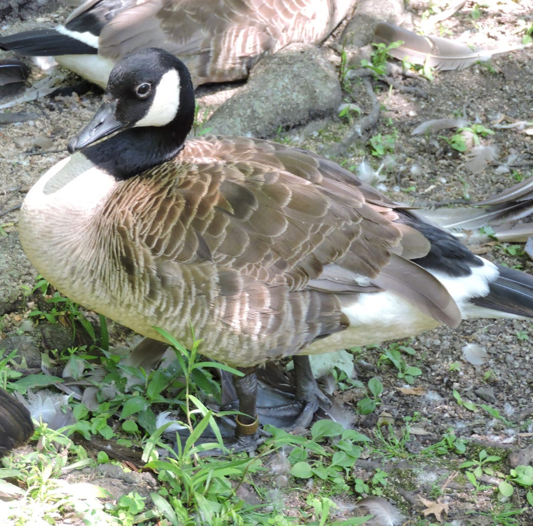 Bird watcher: Banded Canada goose part of annual monitoring program