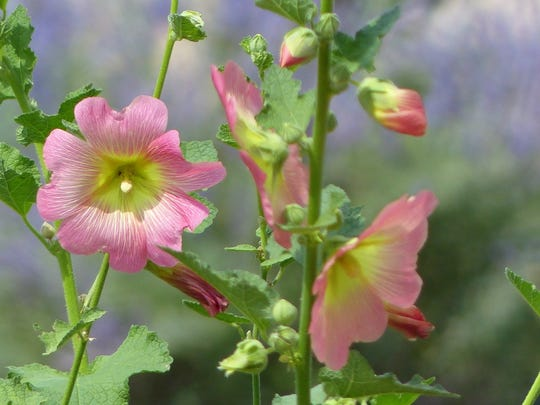 Wild hollyhocks from vivid reds to delicate pinks and many other colors are found throughout the village.