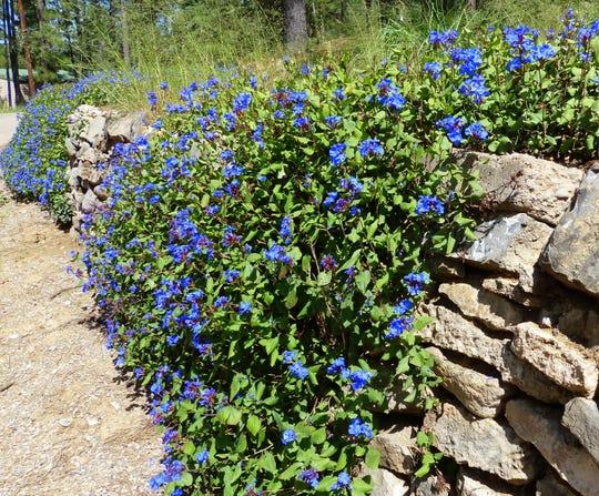 Blue blooms cascades down a rock wall.