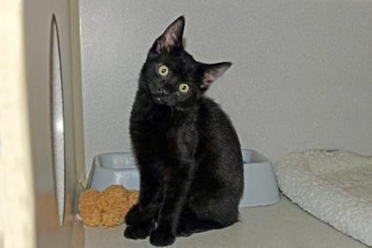 Kip is a 4-month-old kitten who loves to explore and play. The cute  little fur ball is already litter box trained and has received his first round of booster shots. Kip and his brother get along very well and enjoy sitting out on the screened patio on nice warm days.