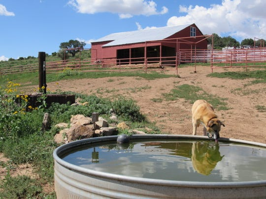 Lulu, one of the current occupants of Followed Dream Ranch, stops at the drinker. In back is the old barn refurbished.