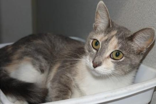Gizelle is a beautiful dilute colored calico, current with her vaccinations, litter box trained and she does not mind other cats. Gizelle really likes to stay inside and is not much of talker, but she loves to cuddle.