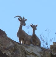 A bighorn ewe and lamb cut a striking silhouette against a bright blue sky.